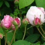Old-fashioned rose : Antonia Dormois