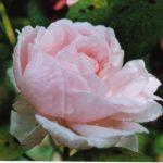 David Austin roses - Chaucer