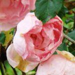 Grass Roots Roses - Duchesse de Brabant