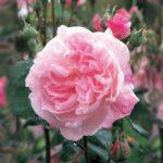 Old-fashioned rose : Fantin Latour