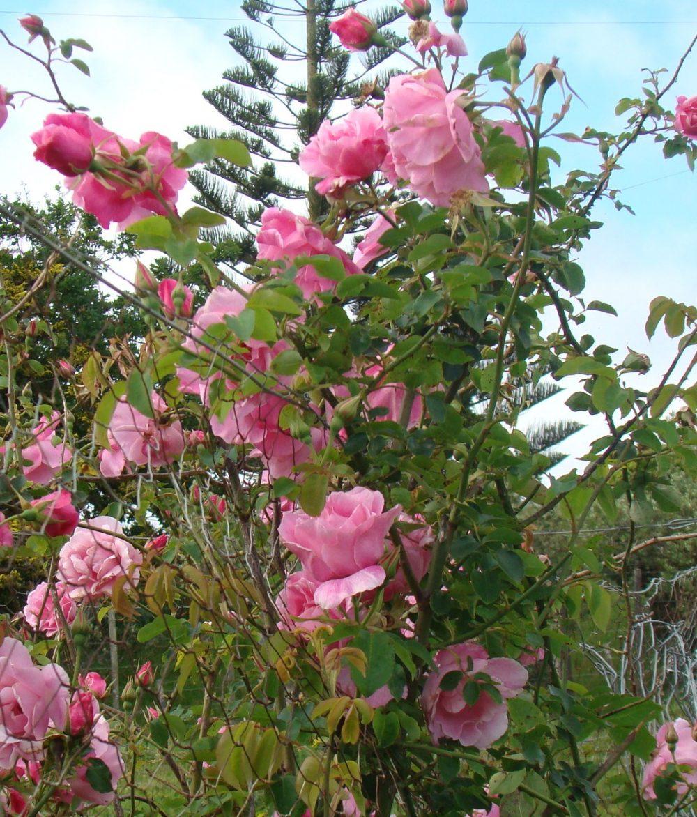 teas older hybrid teas grassroots rose nursery. Black Bedroom Furniture Sets. Home Design Ideas