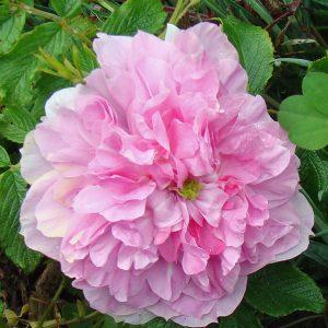 Grass Roots Roses - Mrs Doreen Pike
