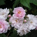 Grass Roots Roses | narrow water