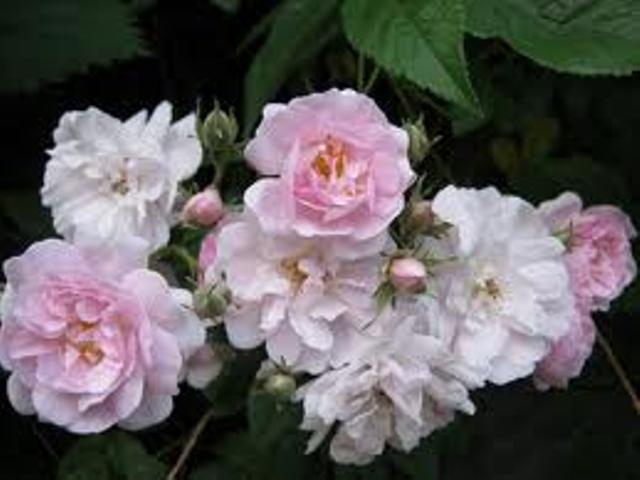 Narrow Water Grassroots Rose Nursery
