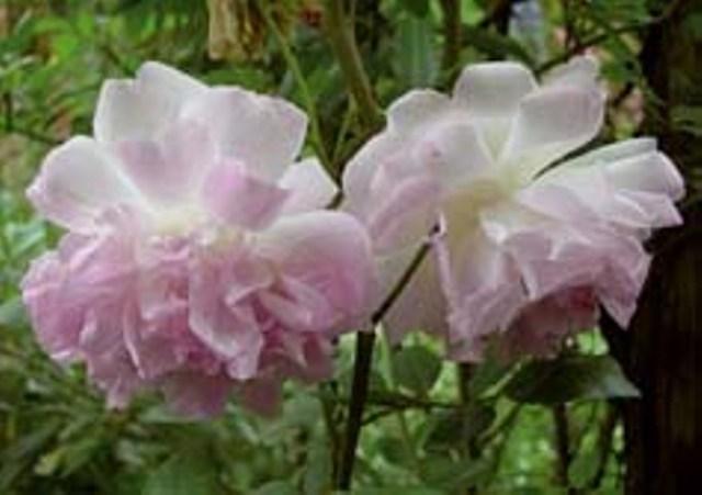 rosa indica images