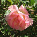 Grass Roots Roses | Souvenier De mme Leonie