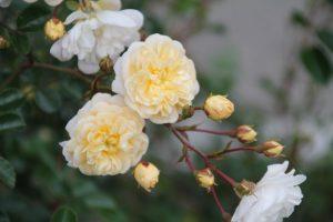 souvenir-de-mme-flowers