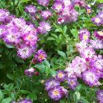 Grass Roots Roses - Vielchenblau