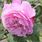 Grass Roots Roses | Alice Hamilton