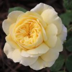 Grass Roots Roses : Austin's Allux Symphony