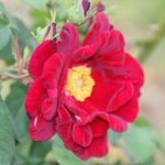 Grass Roots Rose Nursery : James Mason