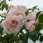 Grass Roots Roses | climbeing rose | new dawn