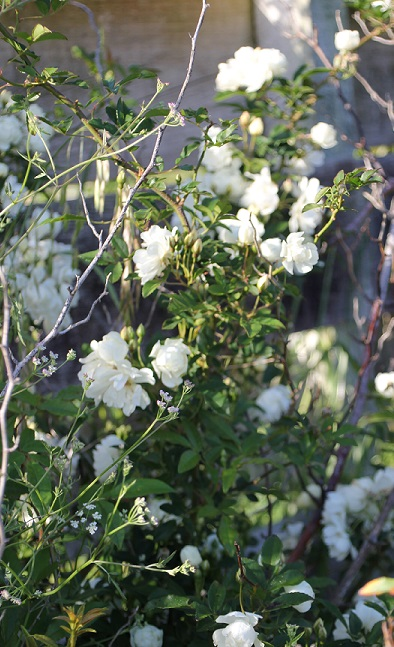 Species roses and hybrids grassroots rose nursery vigorous climber completely thornless covered with bunches of tiny yellow or white flowers early in spring we also have the hybrid form purezza which mightylinksfo