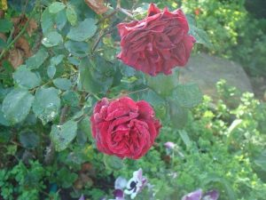 mums-old-red-ww