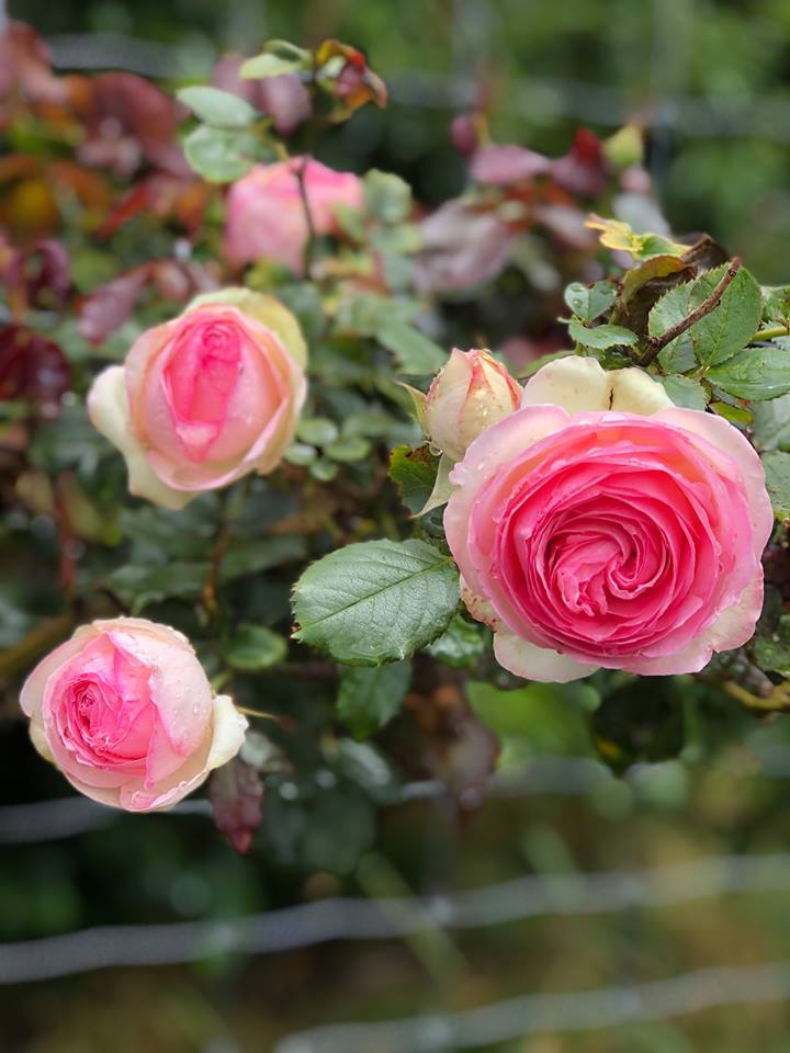 Summer, the highs and lows    - Grassroots Rose Nursery